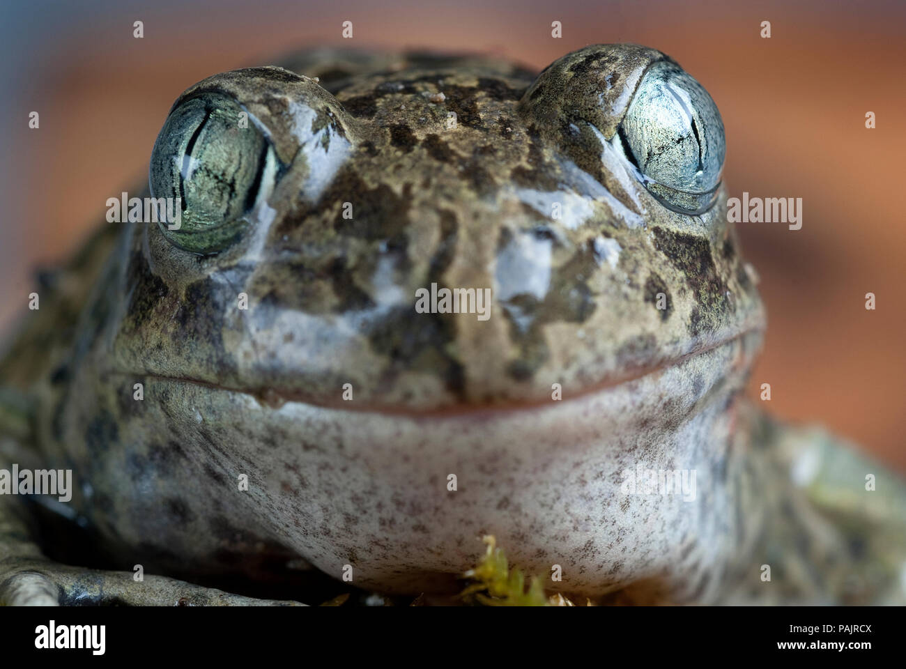Spadefoot toad, Pelobates cultripes, amphibian - Stock Image