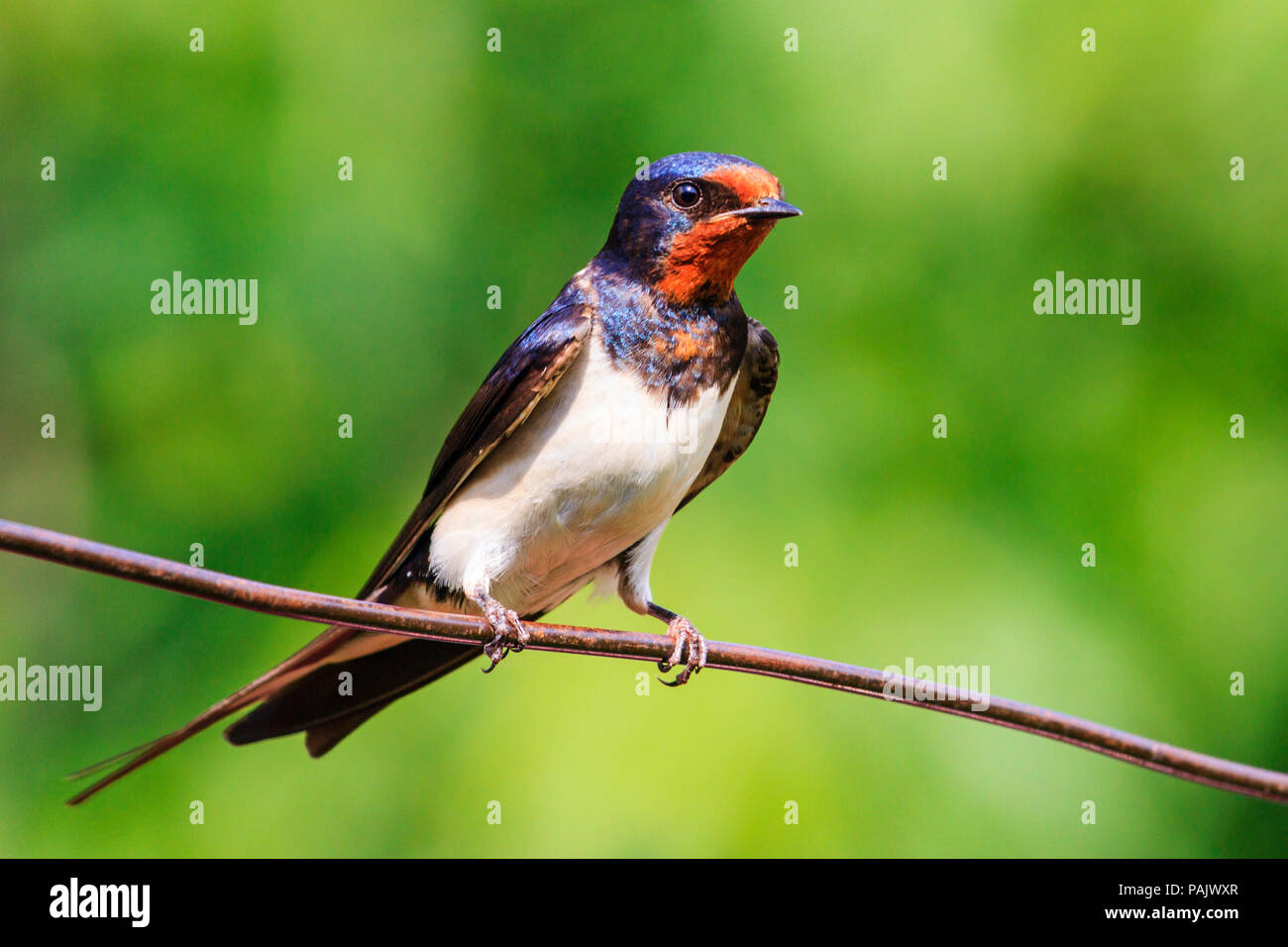 bird with a red mask sitting on a wire Stock Photo