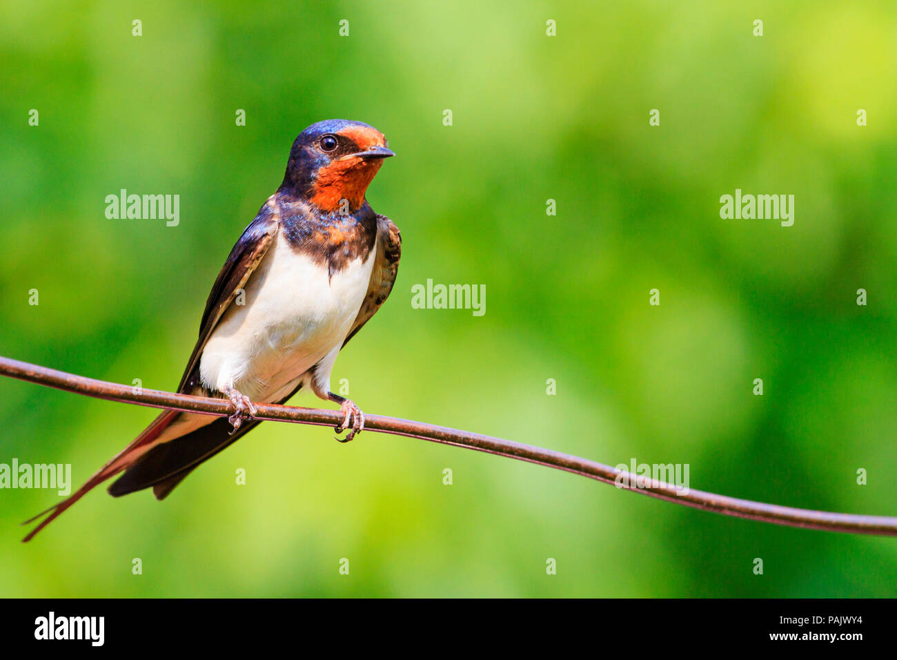 barn swallow is sitting on the wire - Stock Image