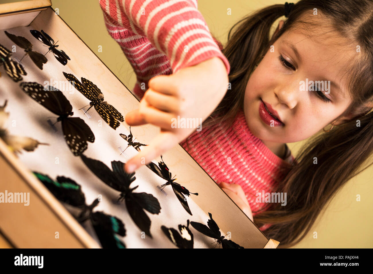 Little Girl Researching Entomology Collection of Tropical Butterflies - Stock Image