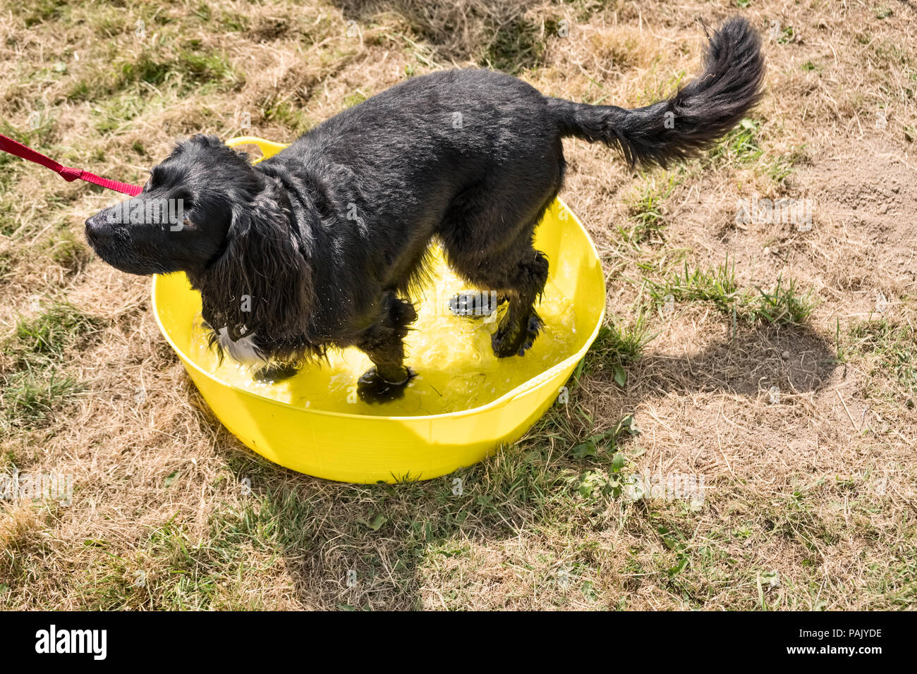 Wales, UK. A black spaniel cooling off by standing in a bowl of water during the heatwave of summer 2018 - Stock Image