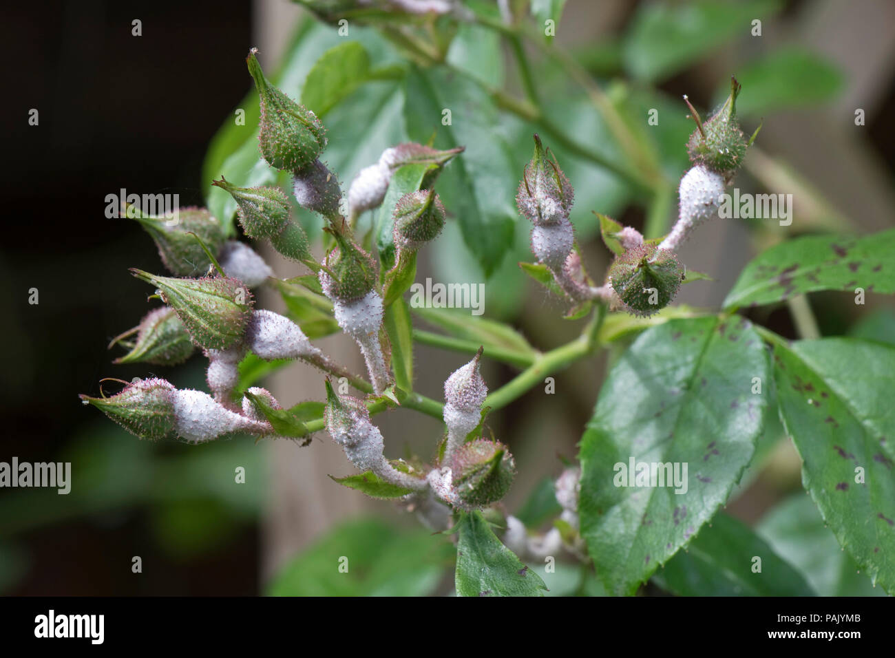 Powdery mildew, Podosphaera pannosa, heavy infection around the bases of rose buds 'American Pillar', June - Stock Image