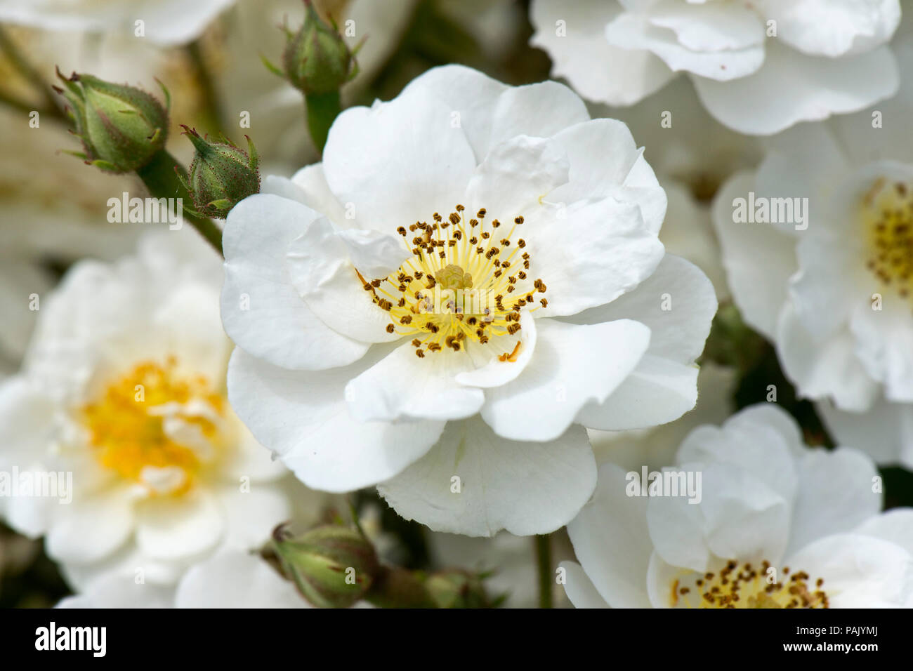 White rambling, climbing rose 'Rambling Rector' with profuse flowers with yellow centres.  Attractive to bees and other pollinators. - Stock Image