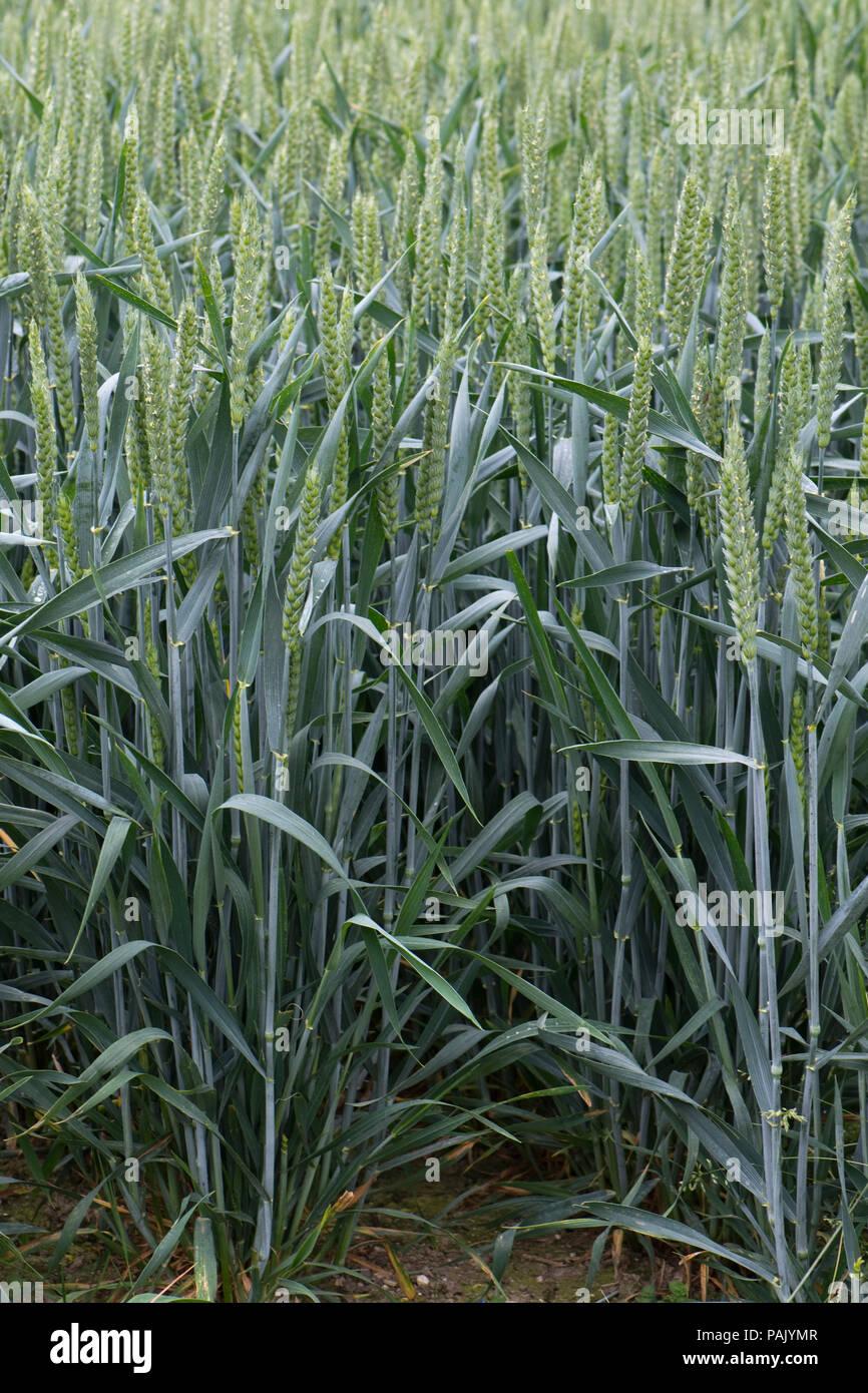 Detail of healthy winter wheat plants in flowering green ear, Berkshire, June - Stock Image
