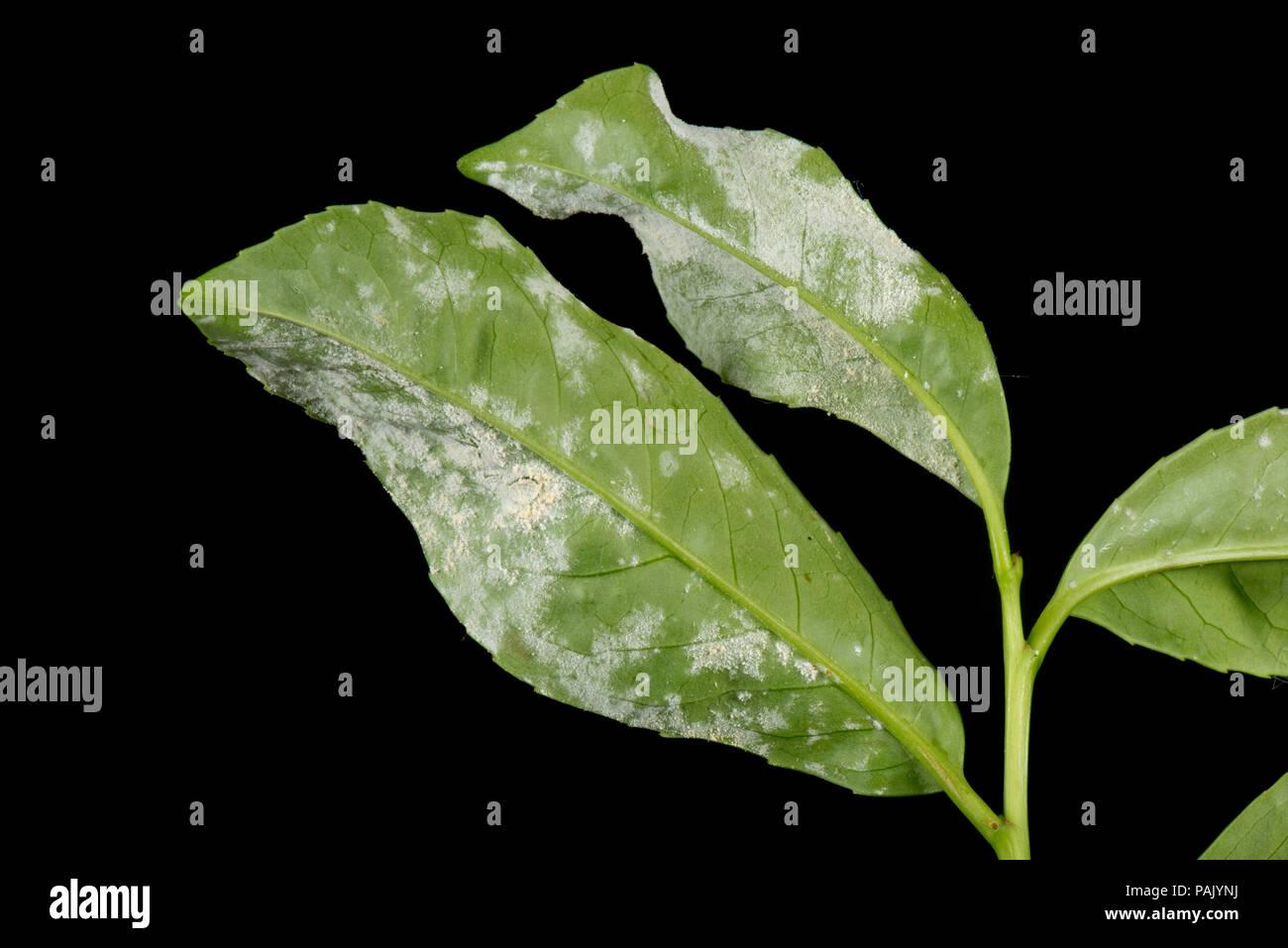 Powdery mildew, Podosphaera pannosa or tridactyla, on cherry laurel leaf undersides in a garden hedge, July - Stock Image