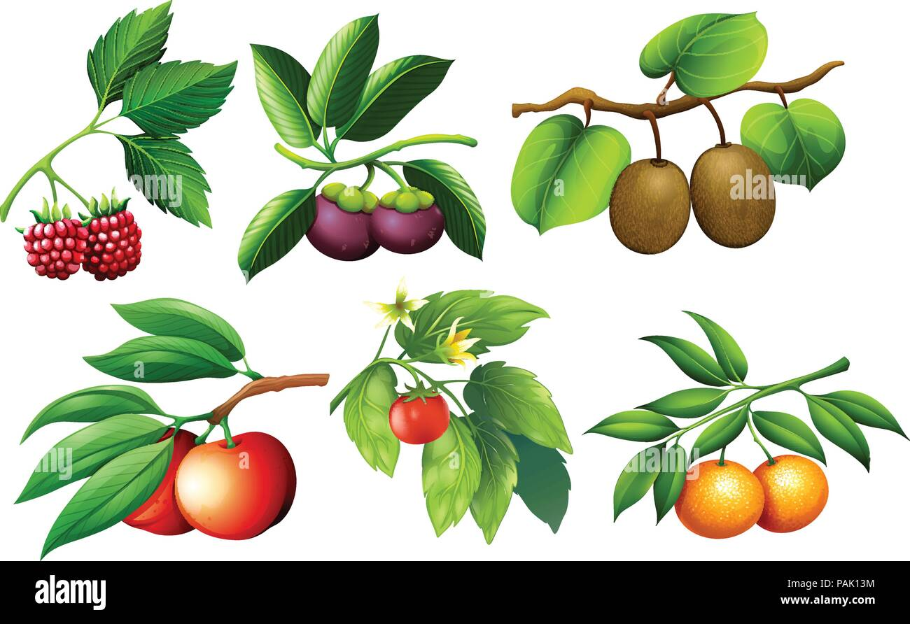 A set of fruit and branch illustration - Stock Vector