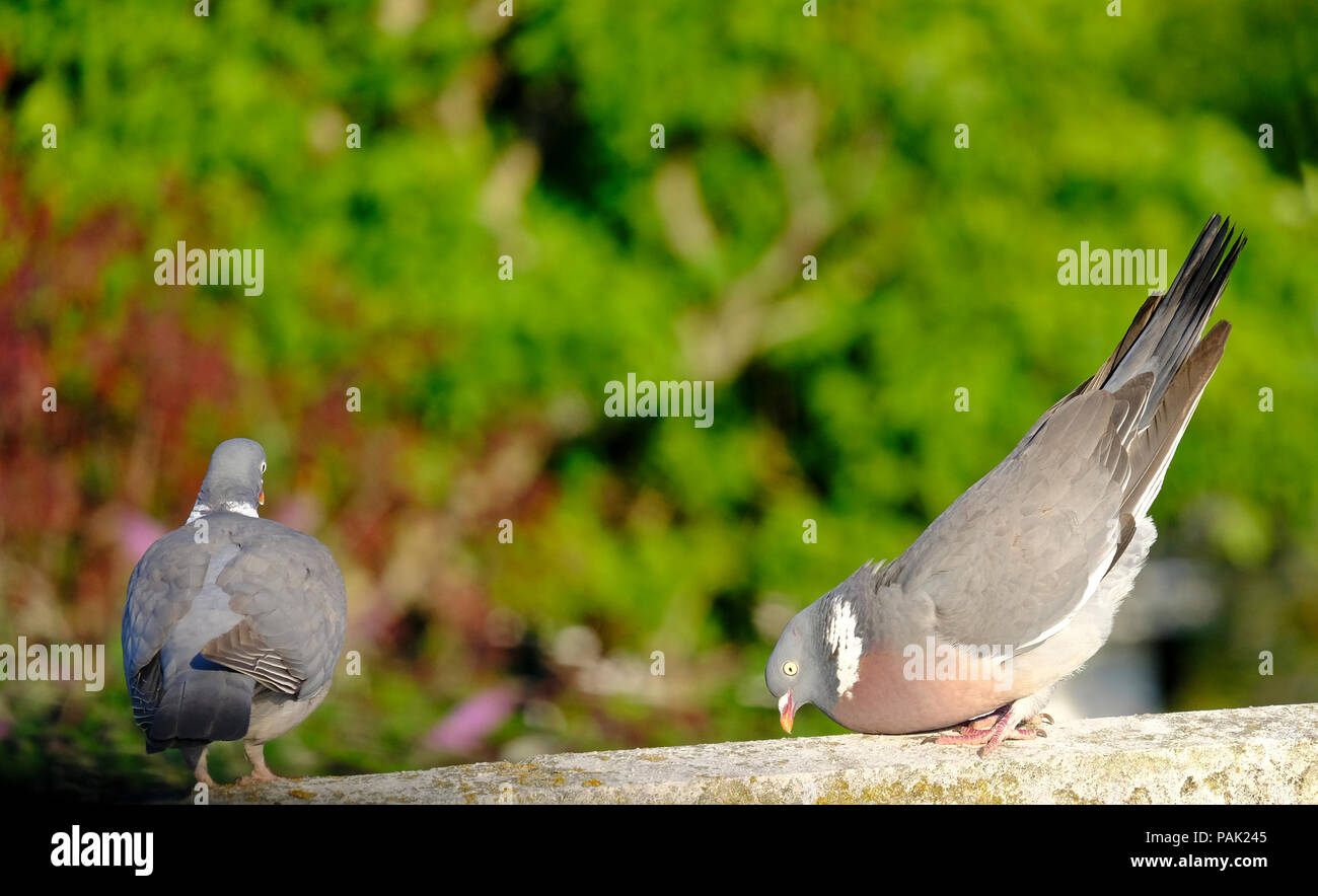 Male Wood Pigeon bowing to disinterested female - Stock Image