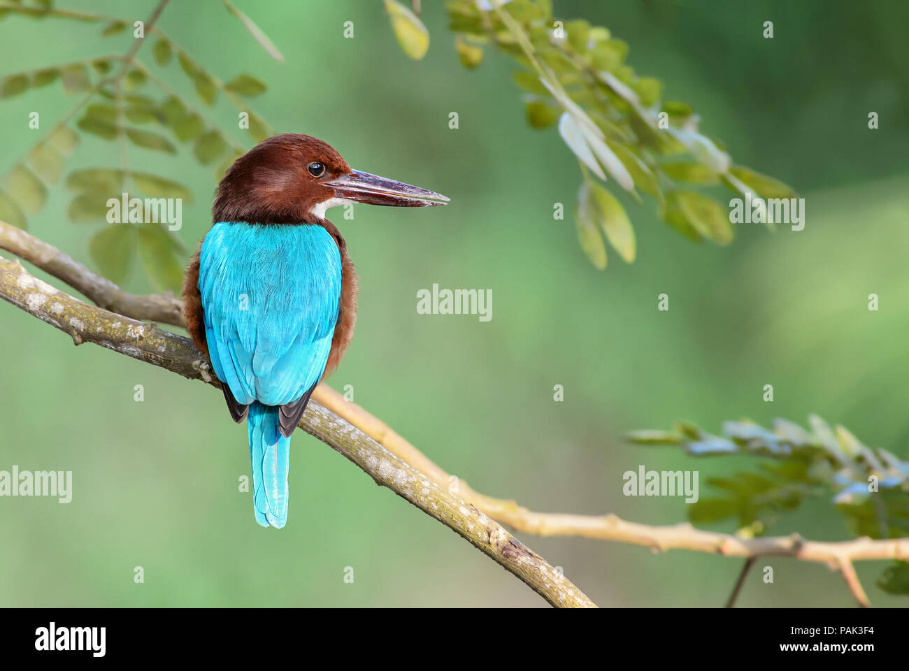 White-throated Kingfisher - Halcyon smyrnensis, Sri Lanka. Sitting on the branch near the water. - Stock Image
