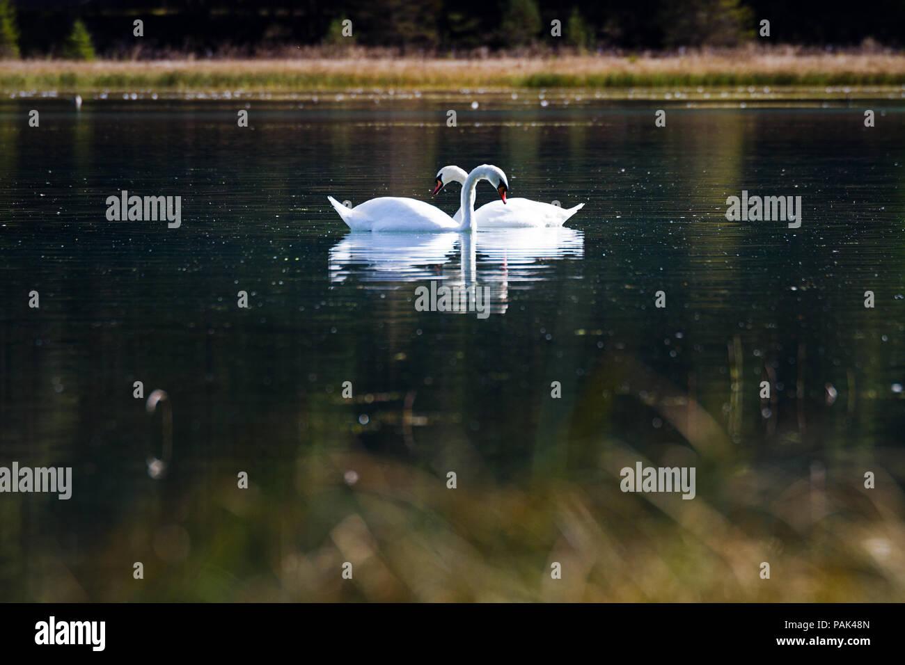 Zwei Schwäne bilden ein Herz während sie verliebt aneinander vorbei schwimmen Stock Photo