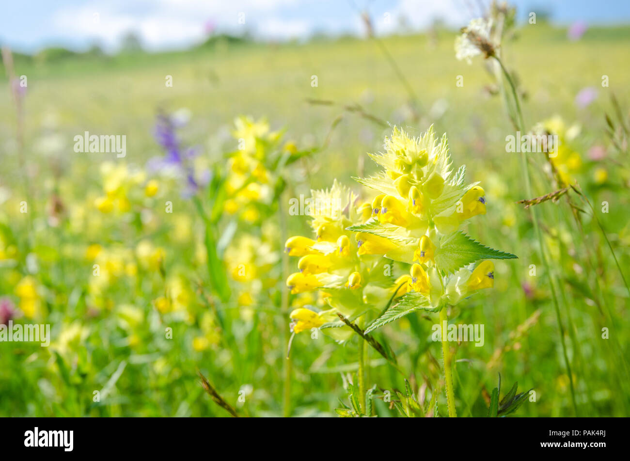 Yellow rattle rhinanthus minor wild flower on a sunny summer day yellow rattle rhinanthus minor wild flower on a sunny summer day on a beautiful fresh green pasture mightylinksfo