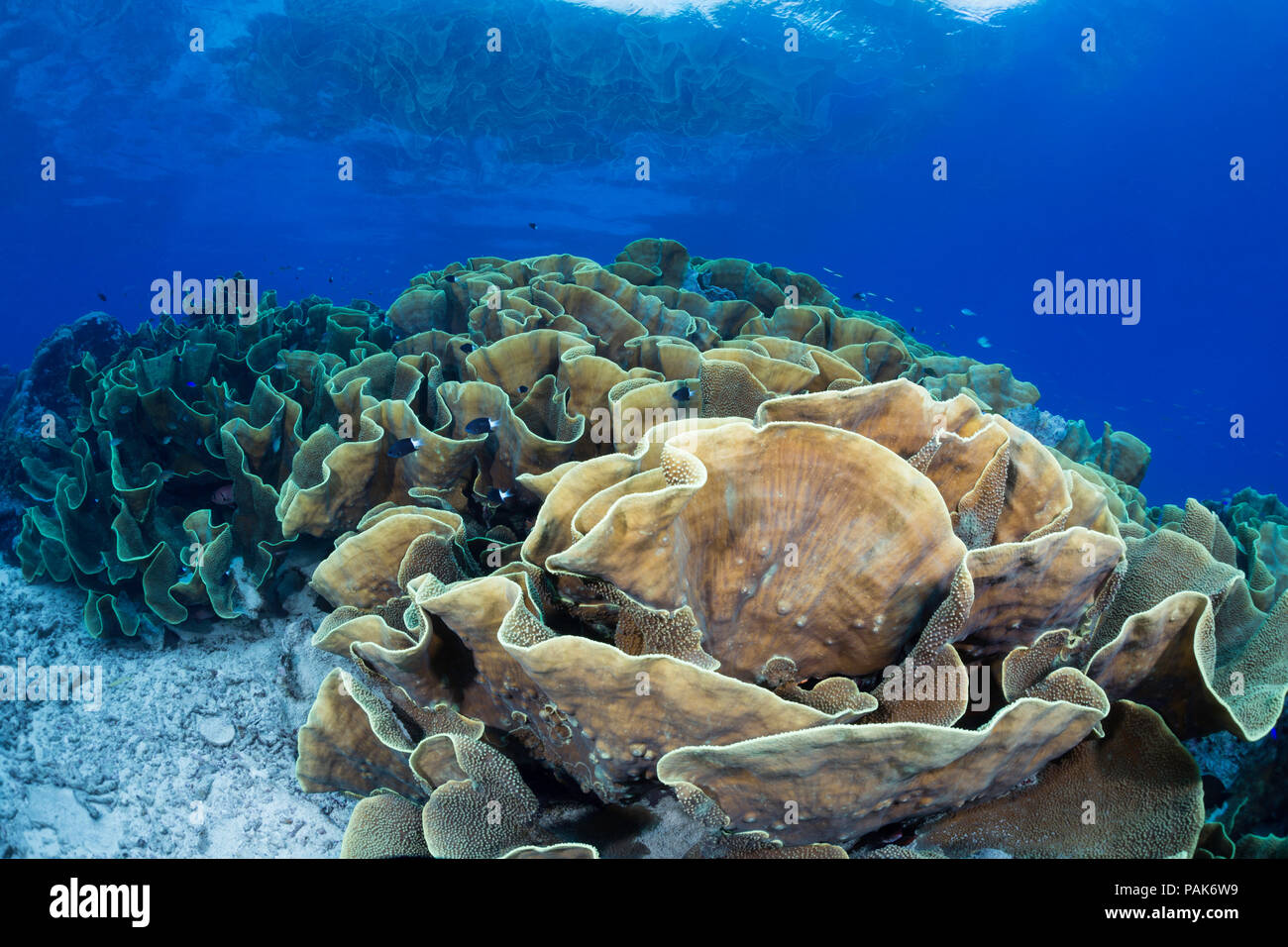This substantial colony of lettuce coral, Turbinaria sp. forms a large section of the reef in shallow water in order to utilize as much sunlight as po - Stock Image