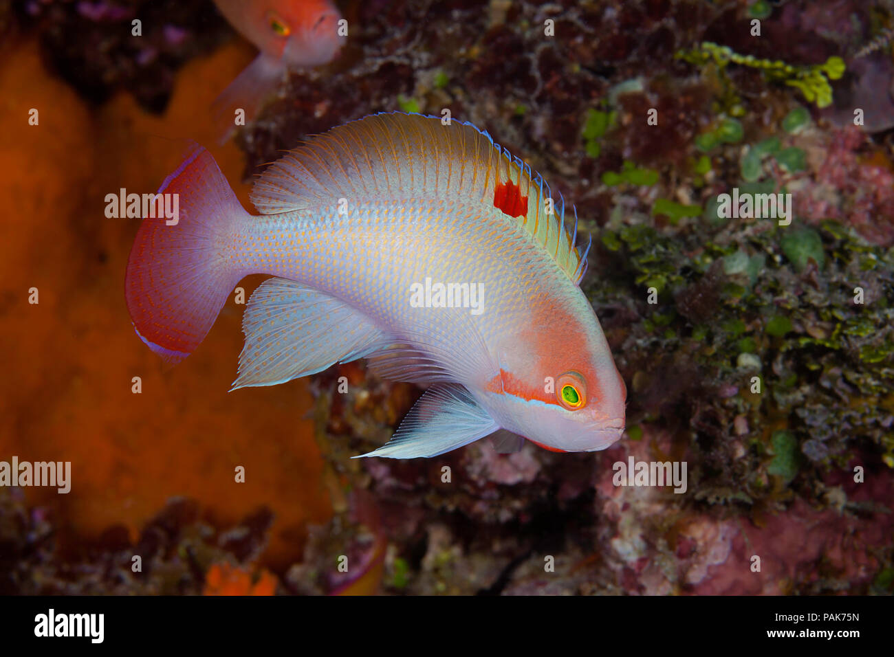 This male stocky anthias (basslet) Pseudanthias hypselosoma, was photographed displaying for a harem of females inside the lagoon off the island of Ka - Stock Image