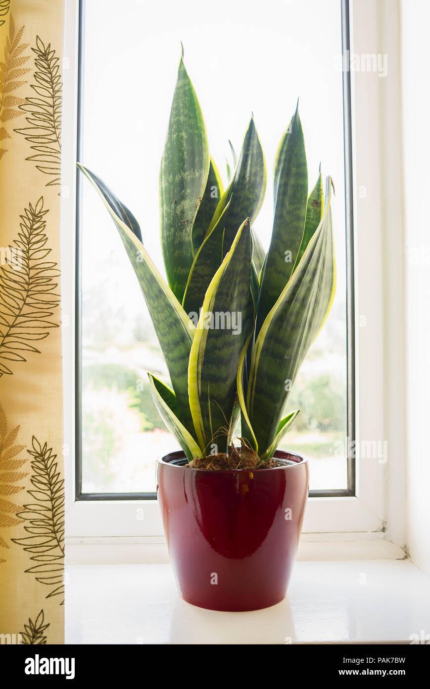 Sansevieria trifasciata Futura Superba; a decorative house plant in a red pot in UK - Stock Image