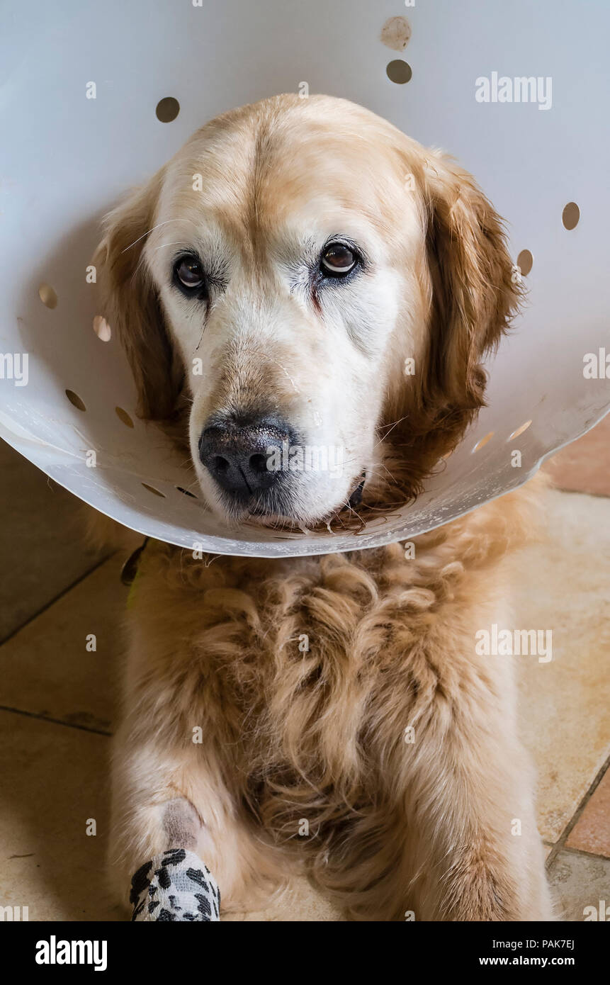 A doleful expression reflecting a Golden Retriever dog's recovery from a recent surgical operation - Stock Image