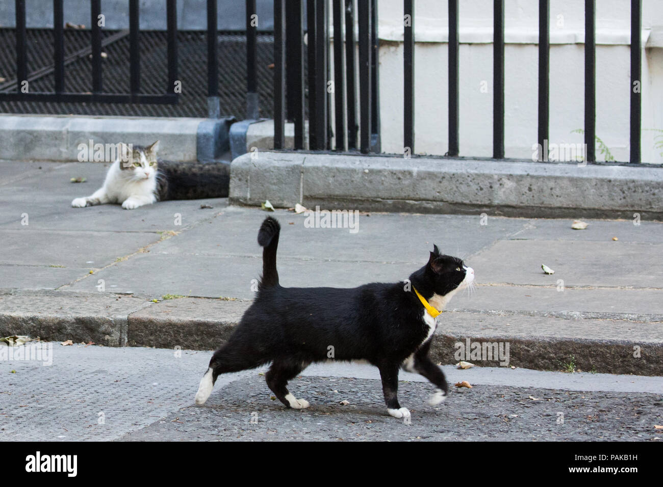 bc162334b04 Downing Street cats Larry and Palmerston in Downing Street on the hottest  day of the year. Larry, Chief Mouser to 10 Downing Street, and Palmerston,  ...