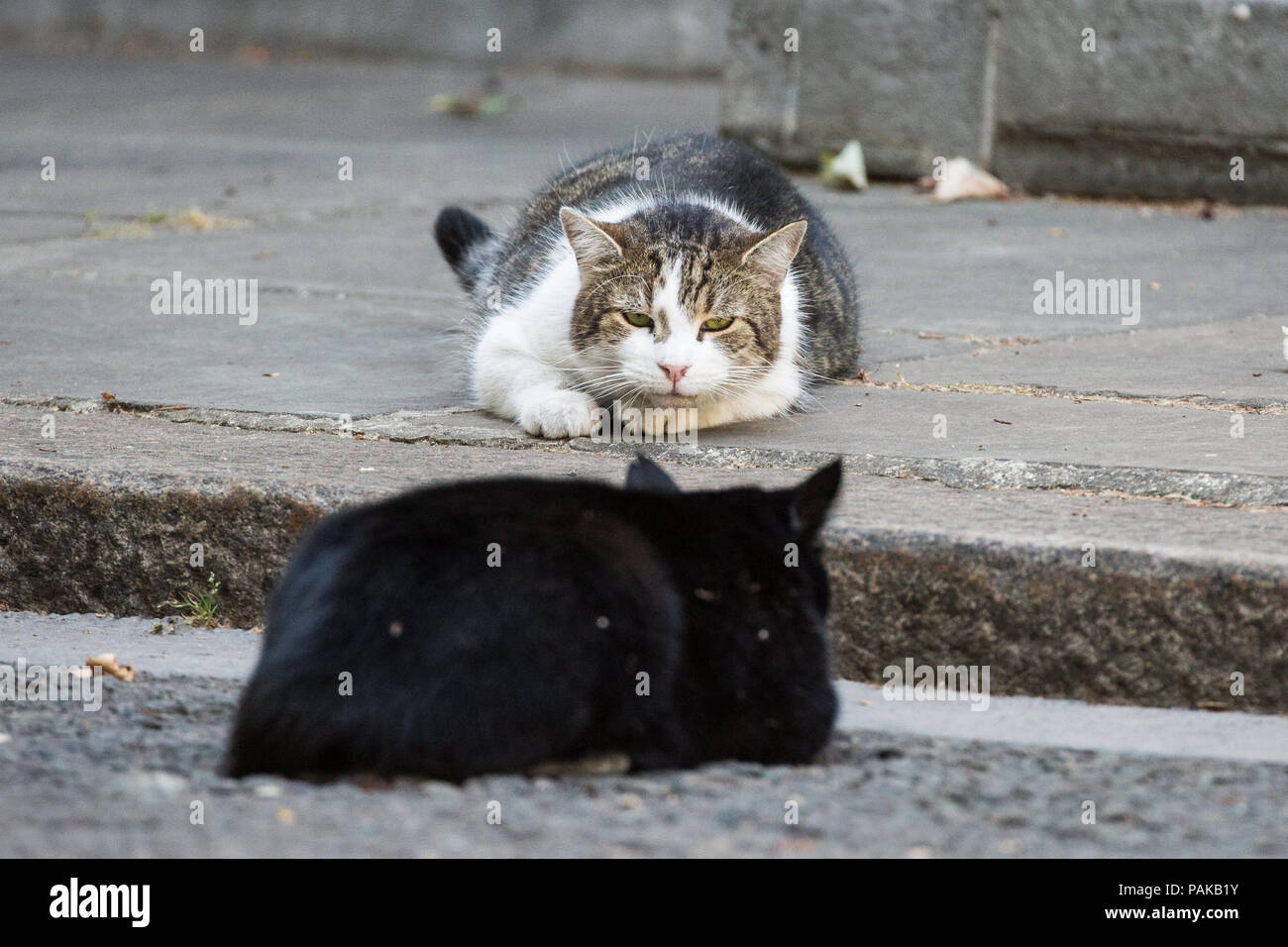 283f083908b Downing Street cats Larry and Palmerston observe each other on the hottest  day of the year. Larry, Chief Mouser to 10 Downing Street, and Palmerston,  ...