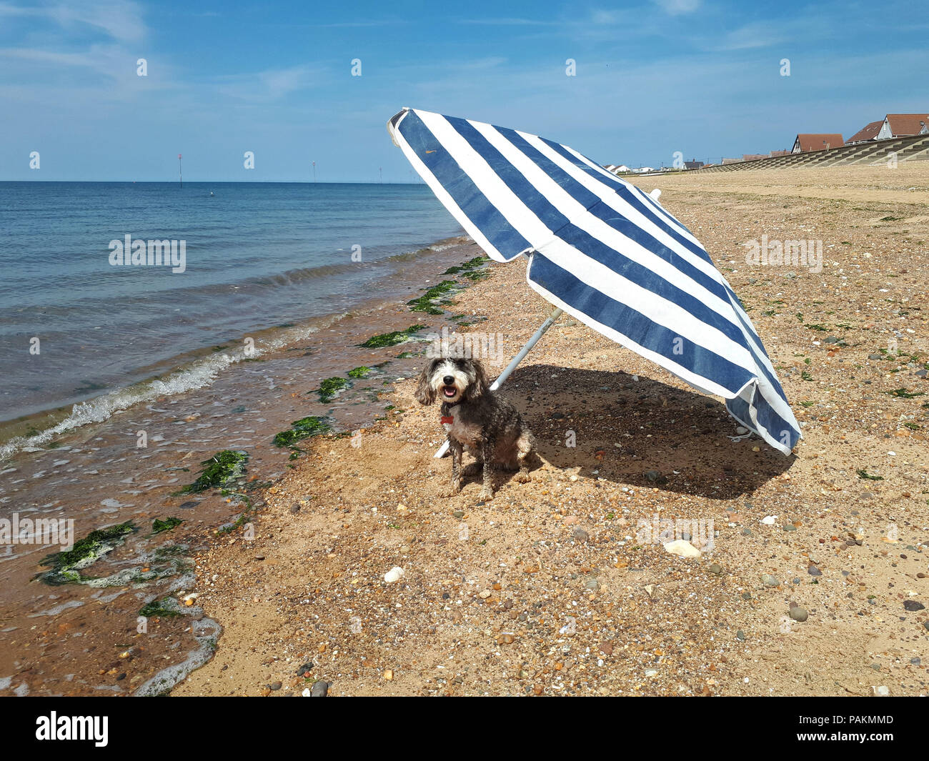 Heacham, Norfolk, UK. 23rd July, 2018. Cookie the cockapoo dog enjoys the hot weather, as warnings are given about the continued heatwave, with an umbrella beside the sea at Heacham, Norfolk, on July 23, 2018. Credit: Paul Marriott/Alamy Live News Stock Photo