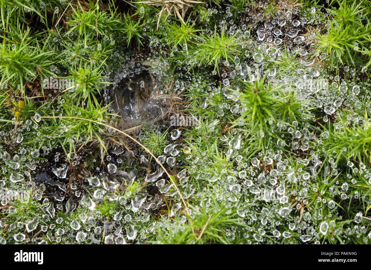 Labyrinth Spider (Agelena labyrinthica) cobweb with dew drops of water on a Gorse Bush.  Nefyn, Llyn Peninsula, Gwynedd, north Wales, UK, Britain - Stock Image