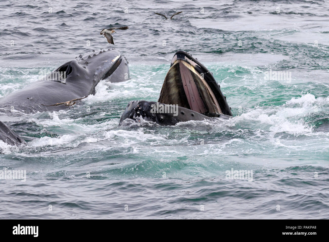 Humpback Whales, Cape Cod, Massachusetts Stock Photo