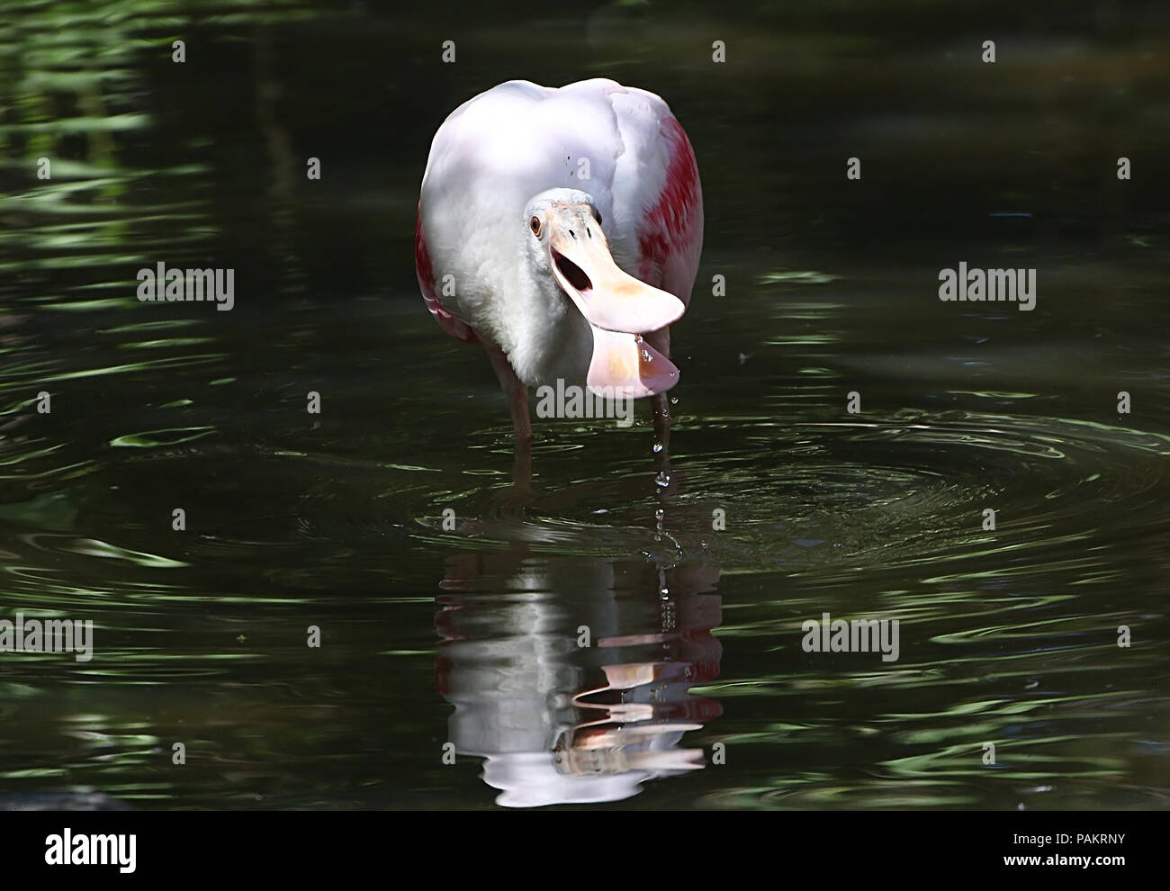 Roseate Spoonbill (Platalea ajaja) foraging in wetlands Stock Photo