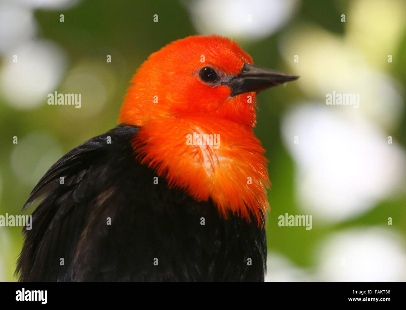 South American Scarlet or Orange headed Blackbird (Amblyramphus holosericeus) in a tree. Stock Photo