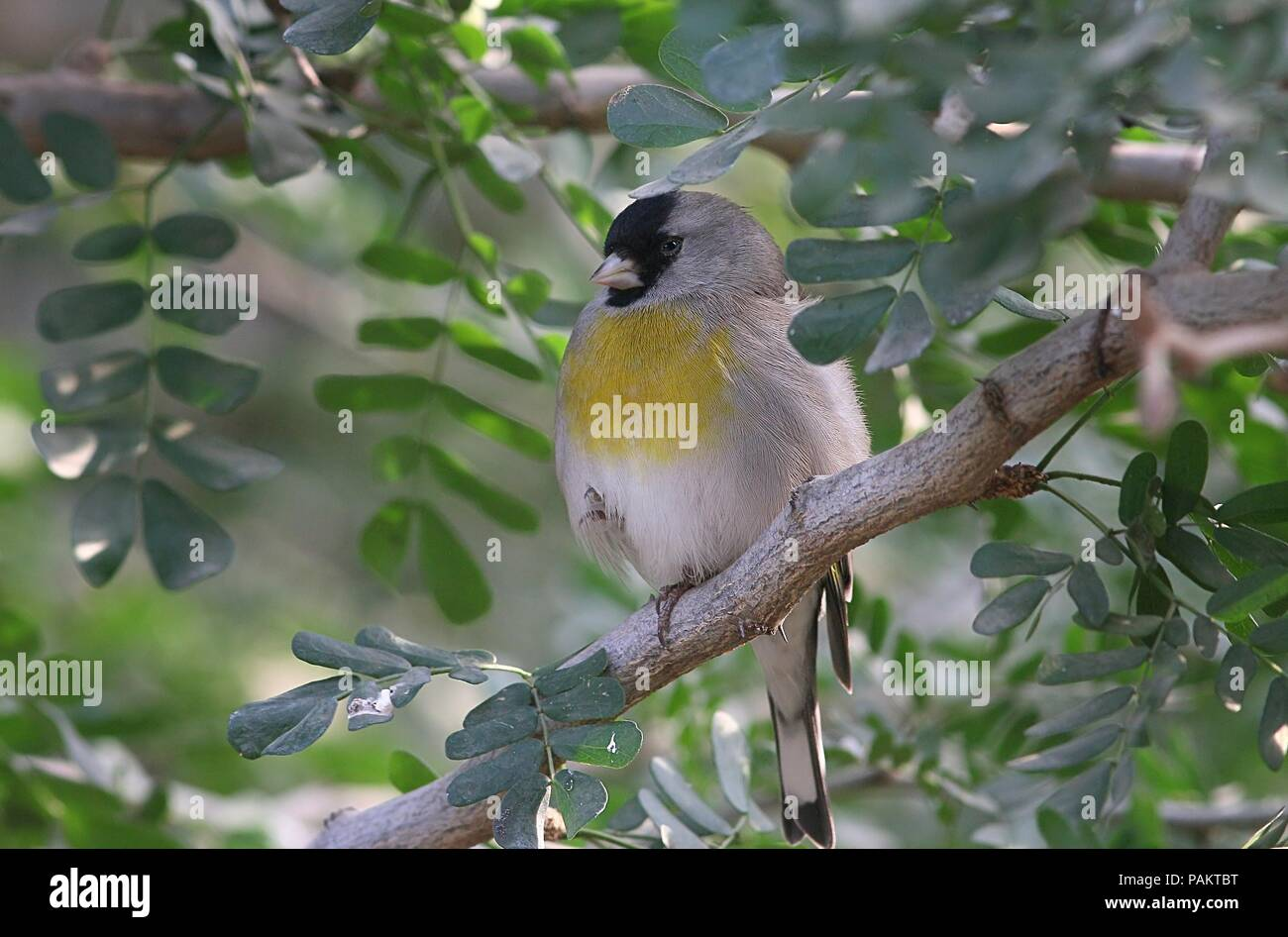 Lawrence's goldfinch (Spinus lawrencei, Carduelis lawrencei), native to California and Northern Mexico Stock Photo