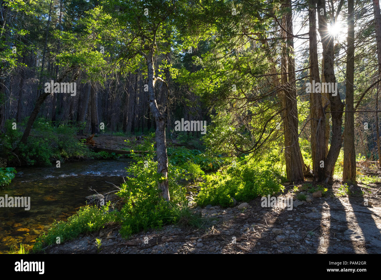 Sunstar and golden afternoon light at this forest creek along the Carlon Falls Trail - Yosemite National Park - Stock Image