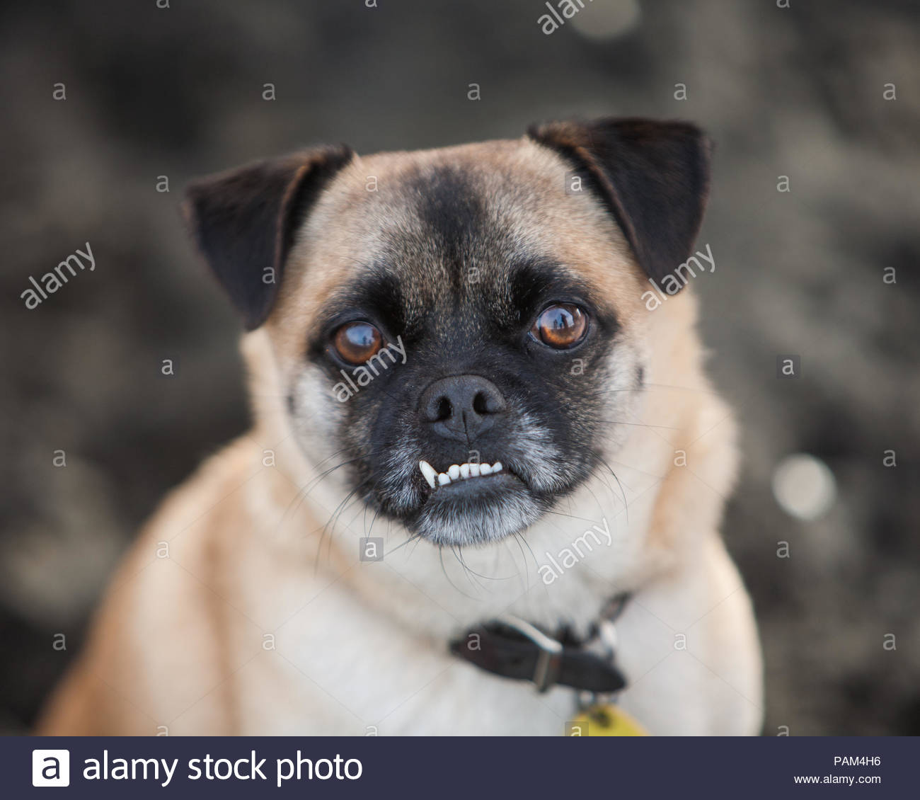 Close-up of tan and black pug mix with underbite and brown eyes - Stock Image