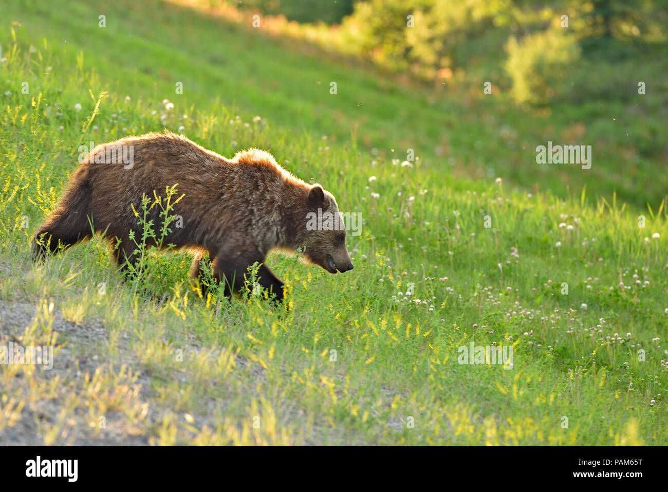 Grizzly bear walking - photo#34