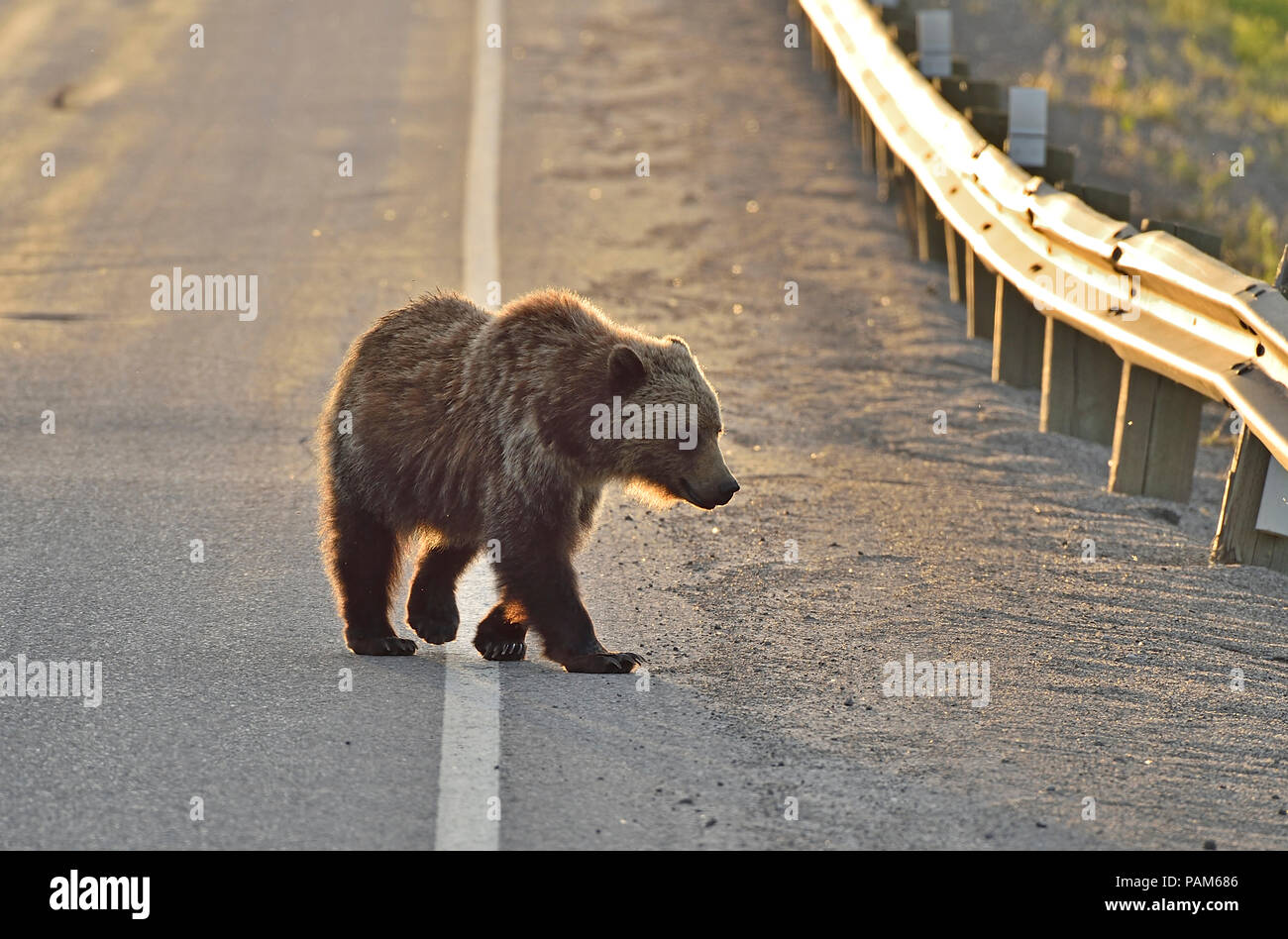 Grizzly bear walking - photo#52