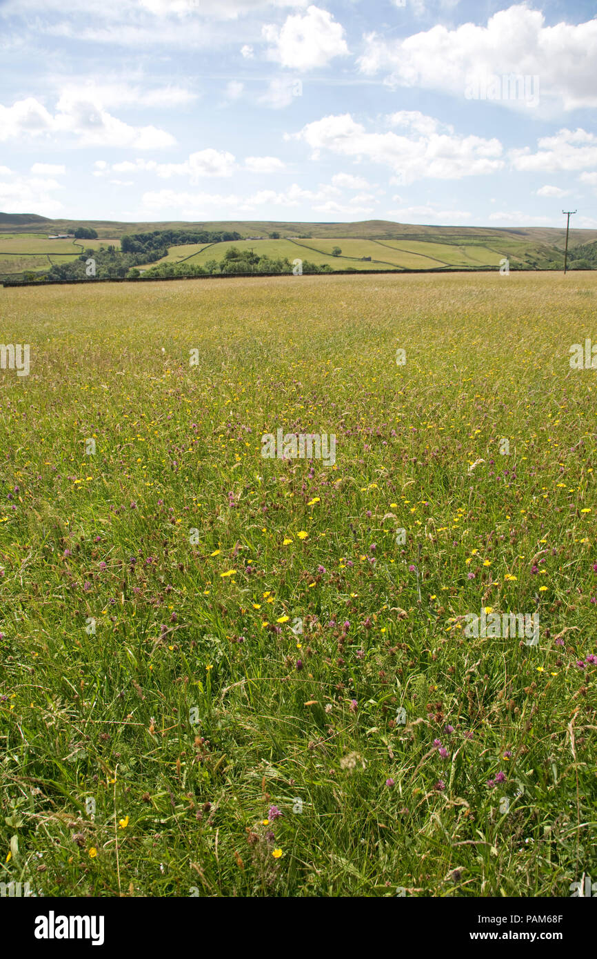 Hannah's wildflower meadow Nature Reserve SSI Durham Wildlife Trust Country Durham UK - Stock Image