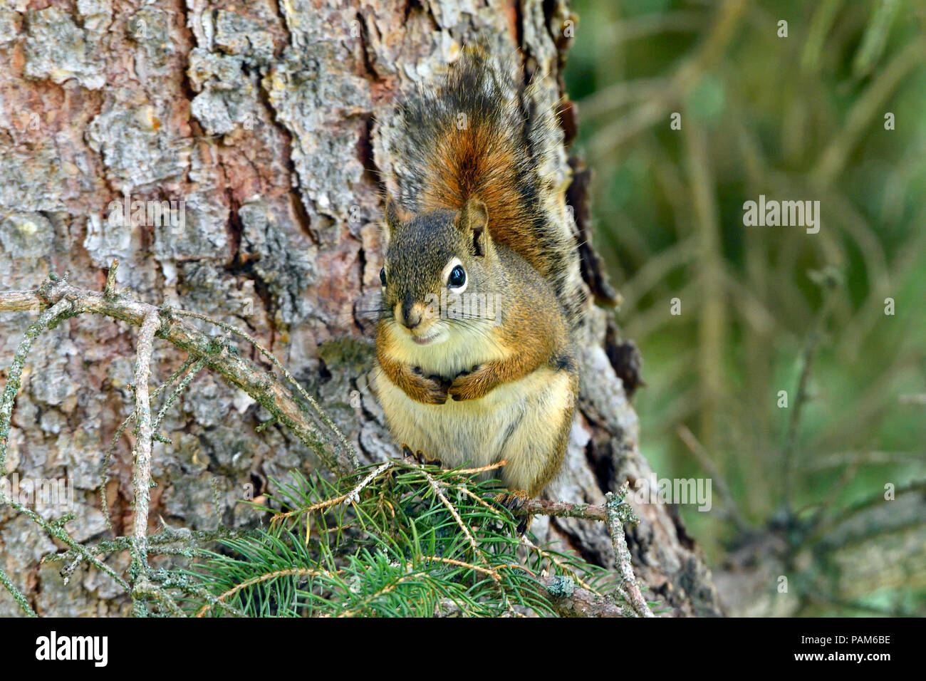 A close up image of a red squirrel 'Tamiasciurus hudsonicus'; sitting on a tree branch - Stock Image