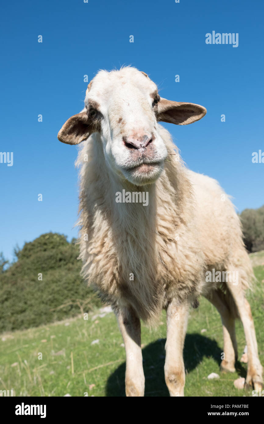 Mountain sheep standing in the blue sky high on the hills of Saronida grazing, East Attica, Greece, Europe. Stock Photo