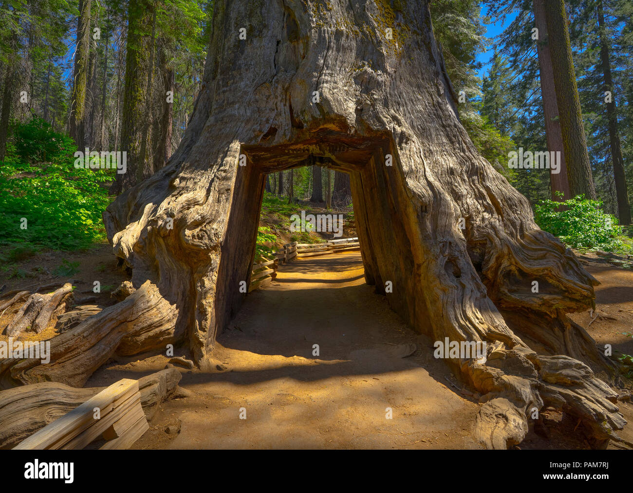 The Tunnel Tree, a Dirt road and hole cut into the trunk of a massive Sequoia on Tuolumne Grove Trail - Yosemite National Park - Stock Image