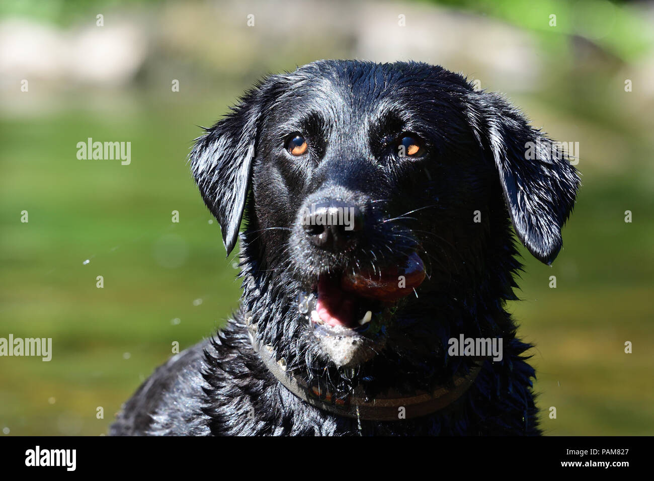 Close up portrait of a wet black Labrador retriever standing in a river with a rock in it's mouth - Stock Image