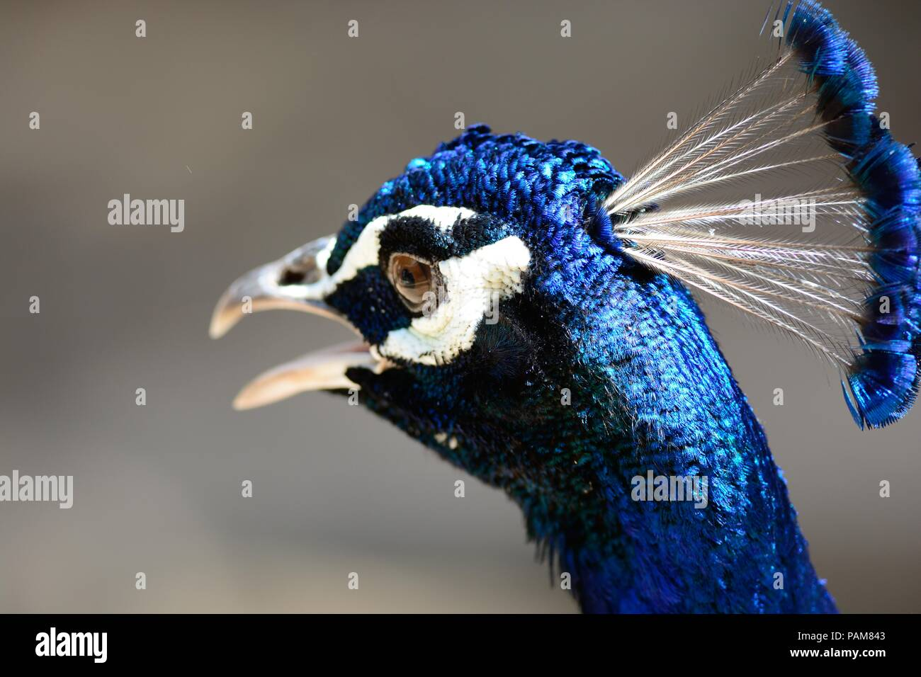 Close uphead shot of a peacock - Stock Image