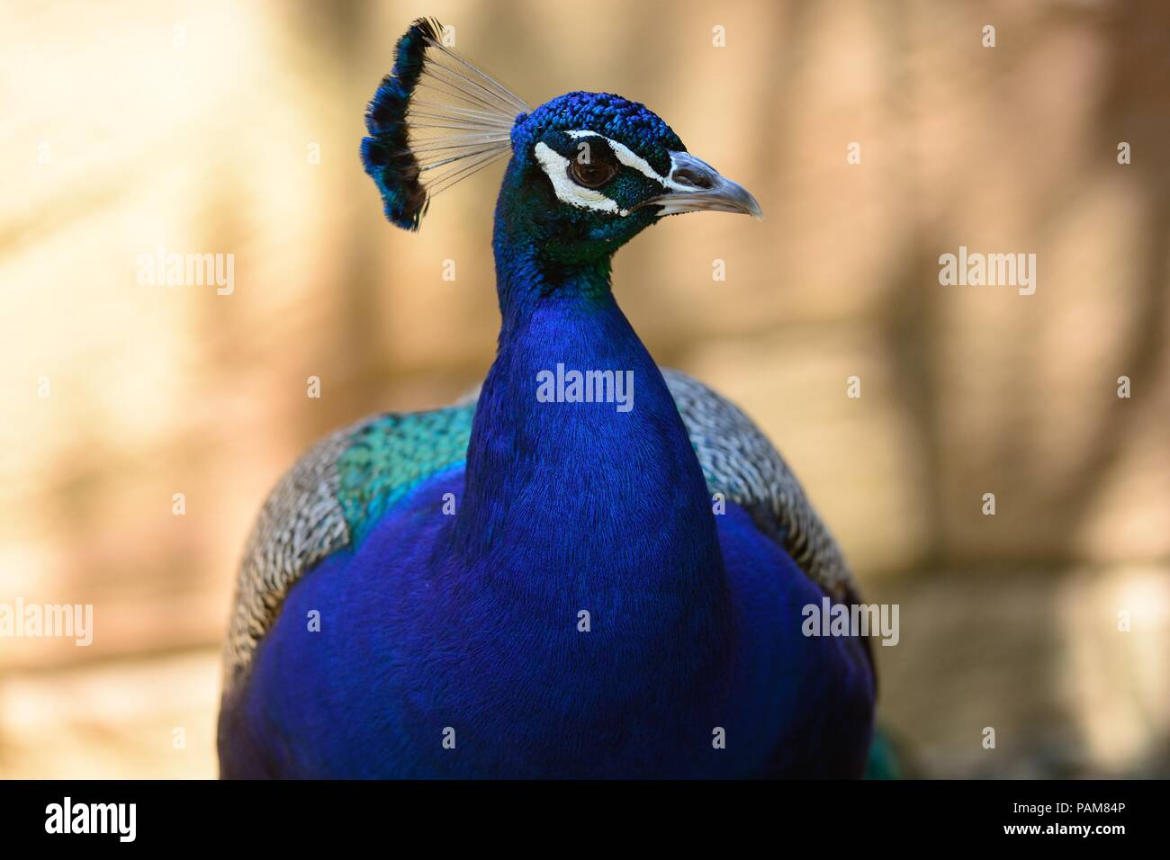 head shot of a peacock - Stock Image