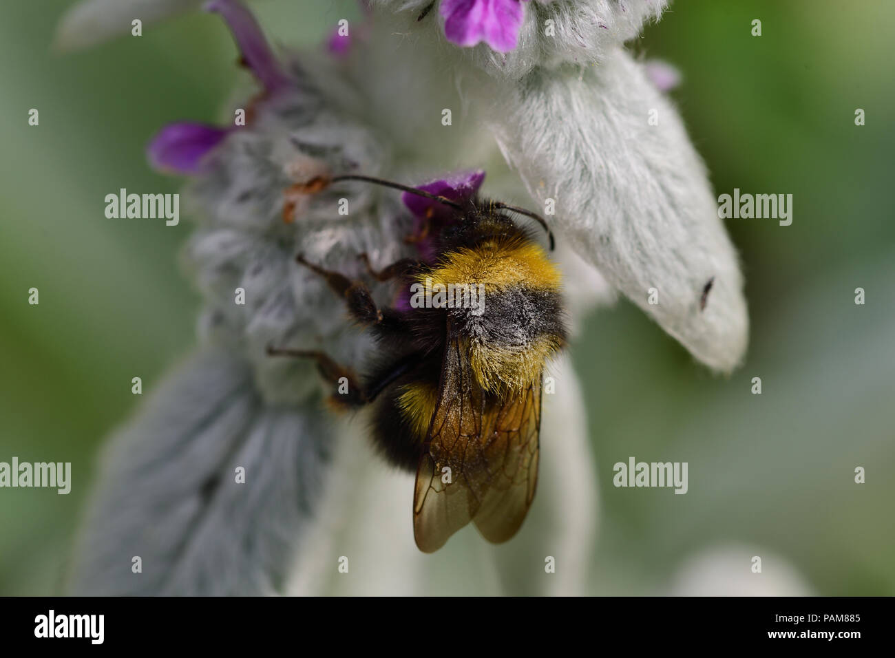 Macro shot of a bumble bee pollinating a woolly hedgenettle flower - Stock Image
