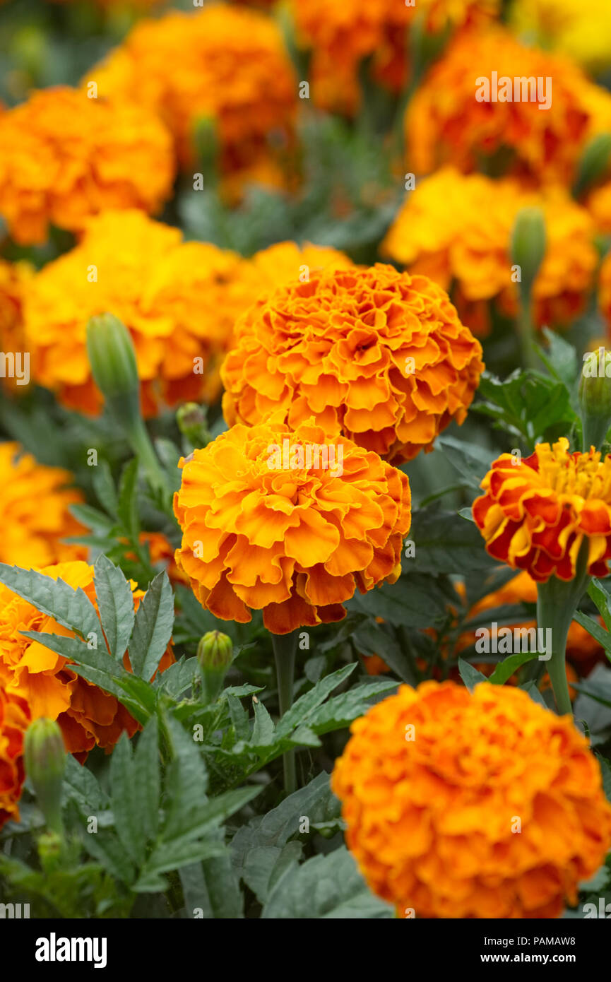 Marigold Triploid F1 Zenith Extra Red flowers. - Stock Image