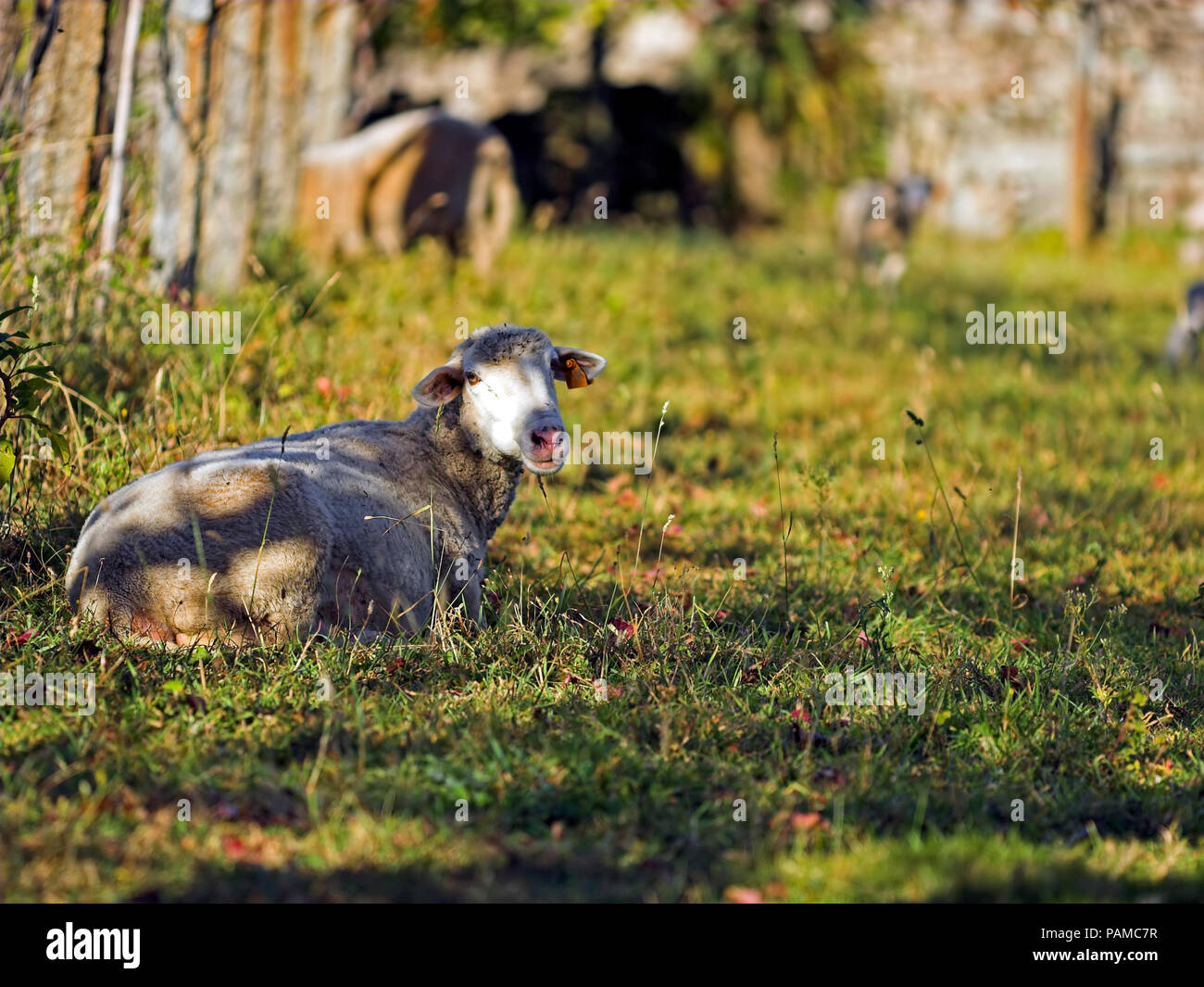 Sheep resting under a shadow in a farm in a hot sunny day - Stock Image