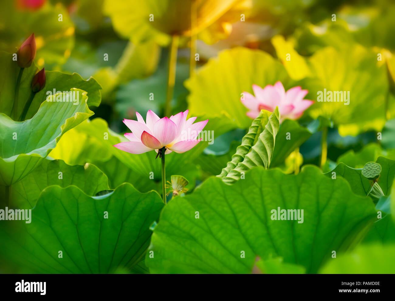 Blooming lotus flower stock photo 213120222 alamy blooming lotus flower izmirmasajfo