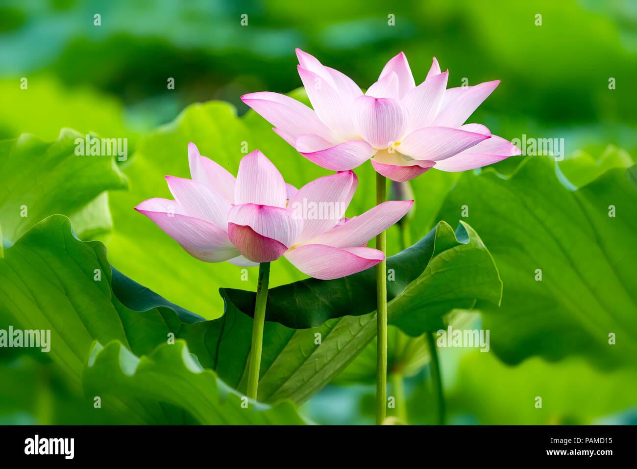 Blooming lotus flower stock photo 213120241 alamy blooming lotus flower izmirmasajfo