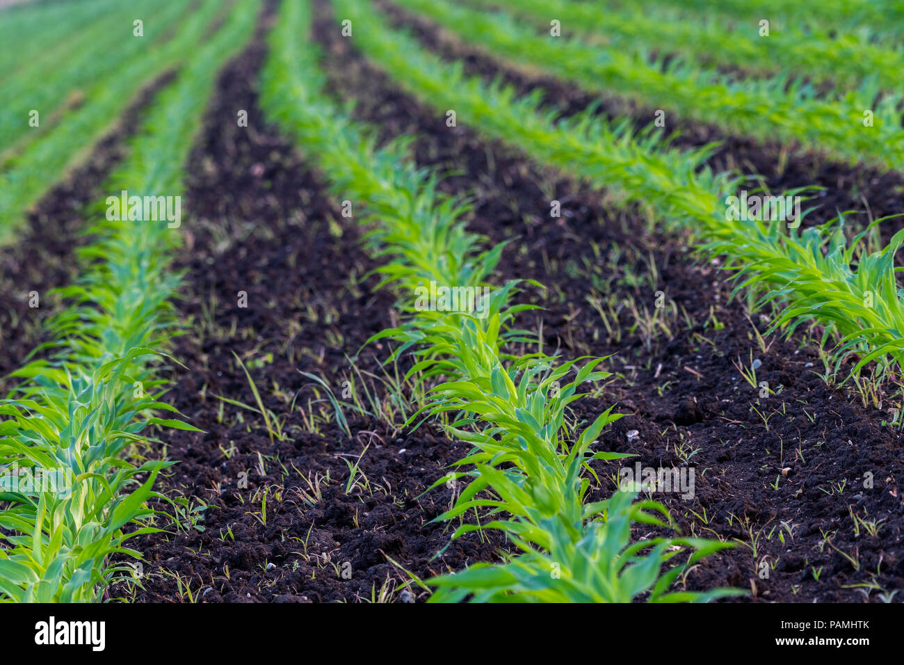 Summer landscape with a field of young corn with weeds, plant protection, herbicides usage, ecological farming, Slovenia Stock Photo