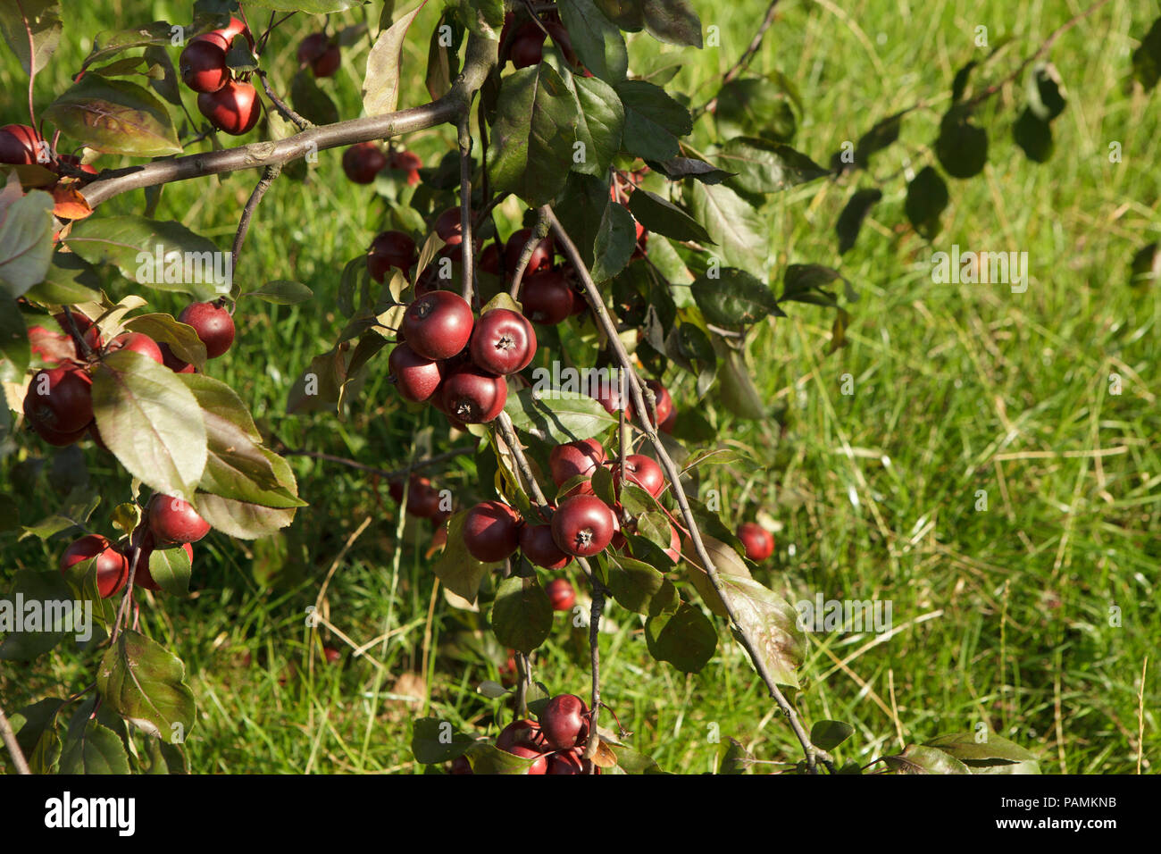 Twig withred wild apples on grass backround - Stock Image