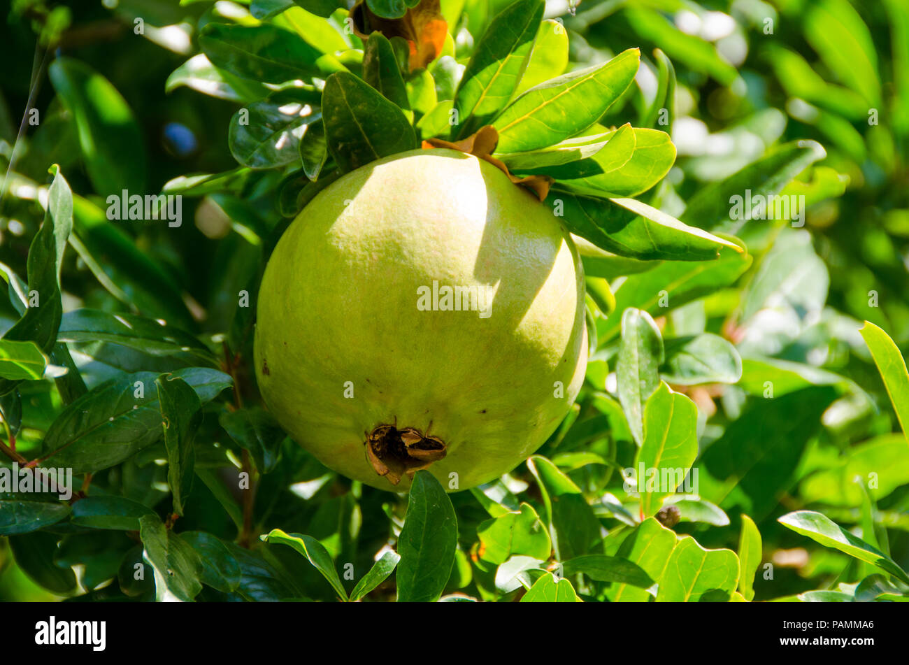 Green pomegrante on a branch with green leaves on the background - Stock Image