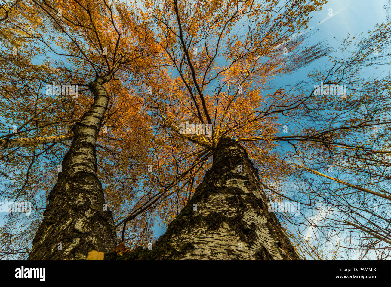 trees in autumn from below, wide angle - Stock Image