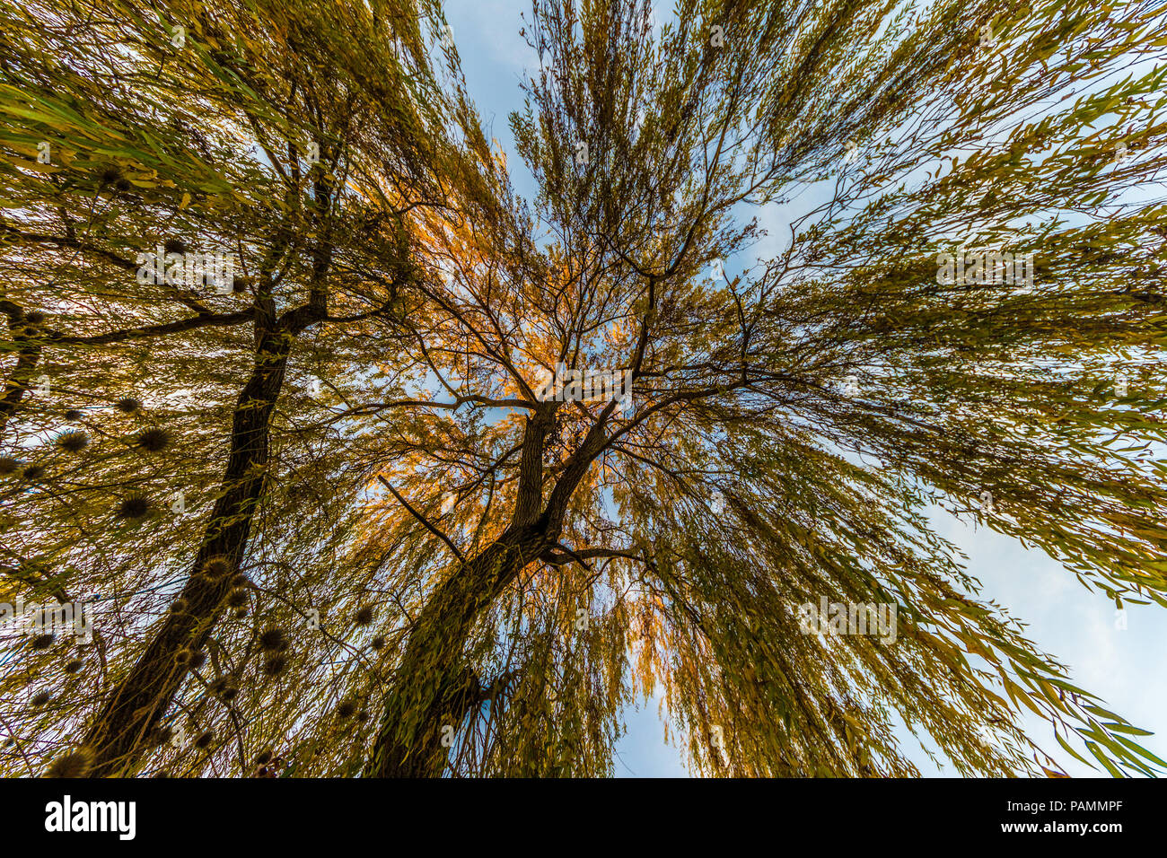 weeping willow, wide angle view from below - Stock Image