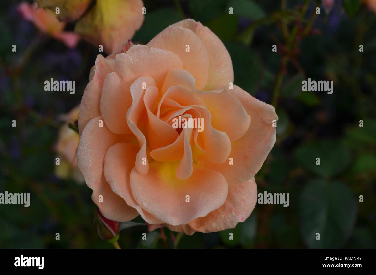 peach Rose\' Garden Stock Photos & \'peach Rose\' Garden Stock Images ...