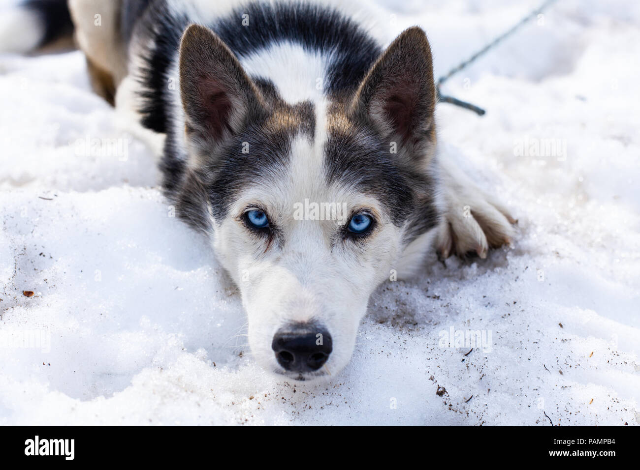 Playful alaskan husky dog looks straight into the camera while laying in snow - Stock Image