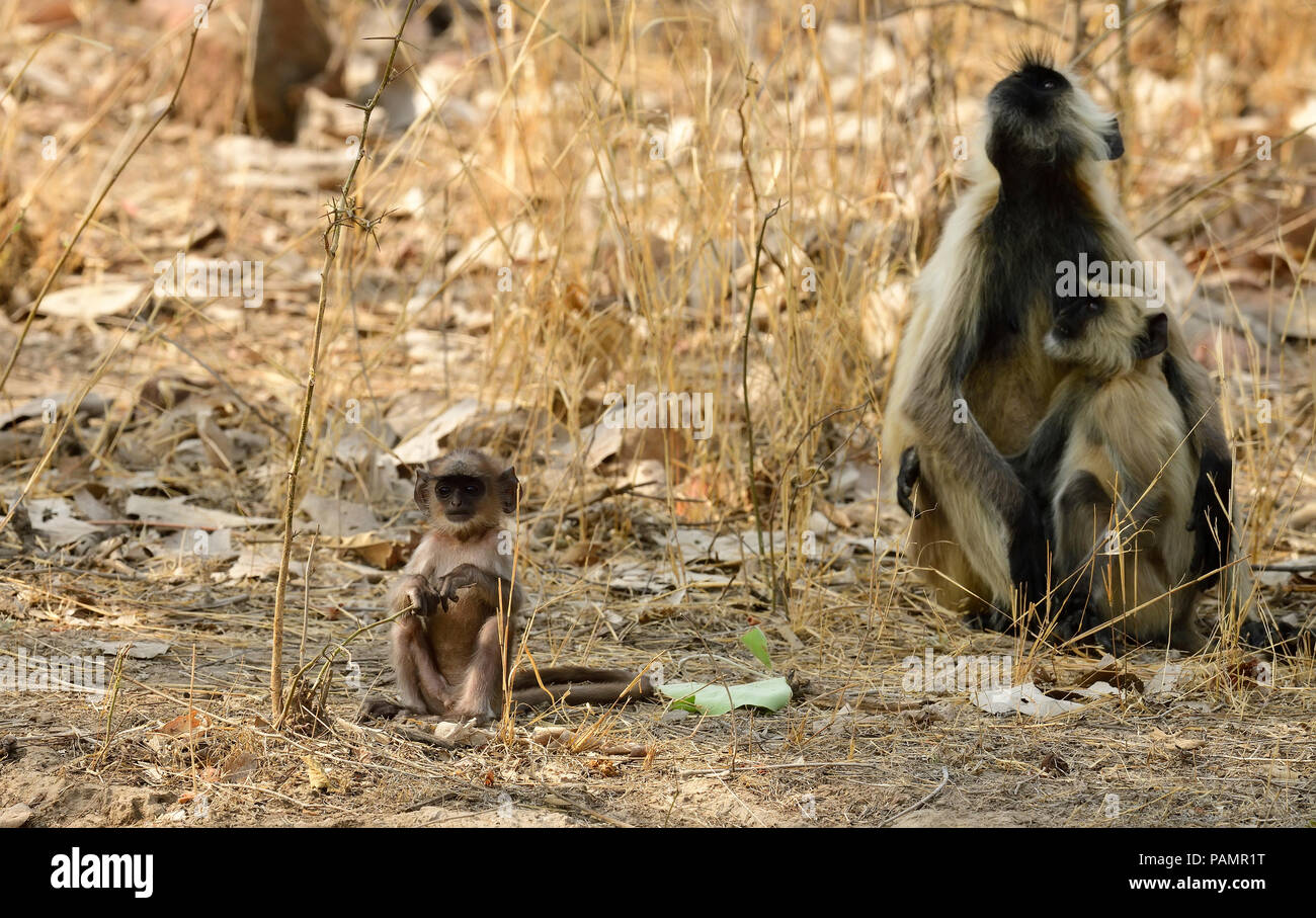 Gray Langur family group with playing infats, and drinking water in Indian Summer, grooming each other, gathered together in indian forest - Stock Image
